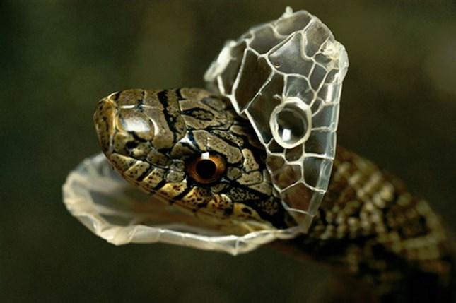 Змея в линьке