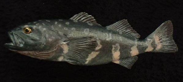 Рыба Морской монах (Erilepis zonifer)