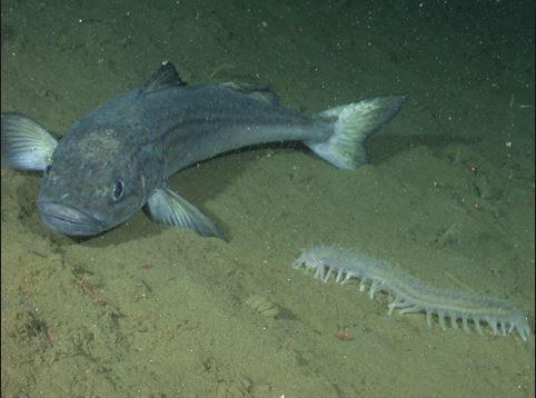 Снежная рыба фото в море