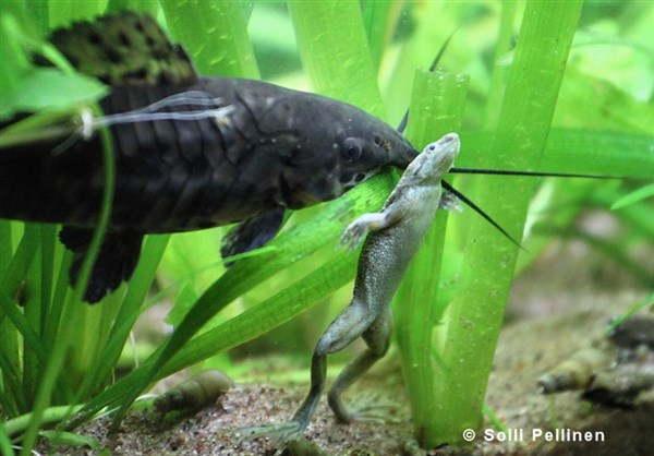 карликовая лягушка в аквариуме
