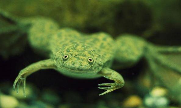 Аквариумная карликовая лягушка