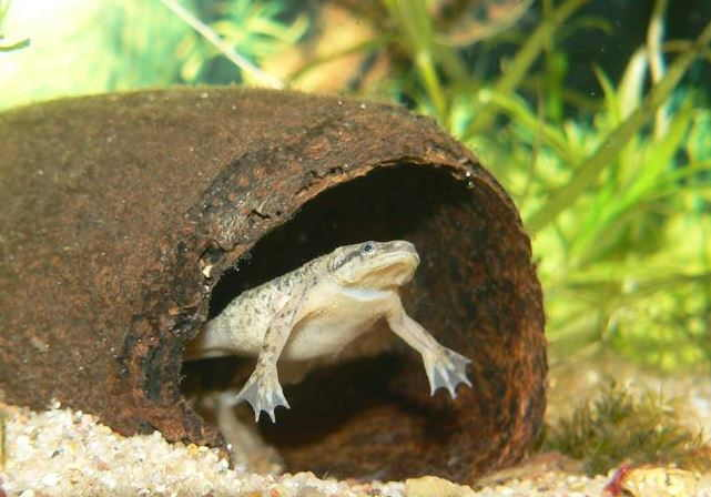 Аквариумная лягушка