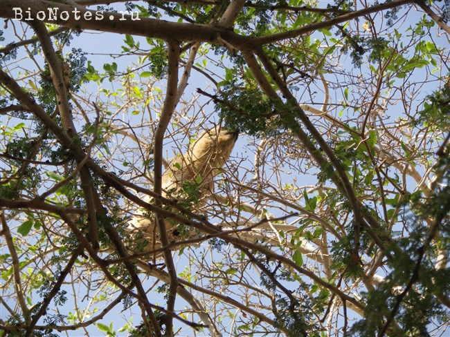 Даман на дереве
