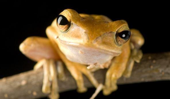 Лягушки в террариуме - веслоног