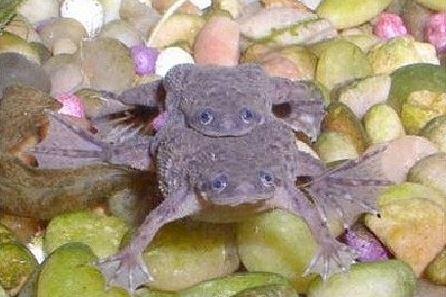 Африканскире карликовые лягушки спариваются