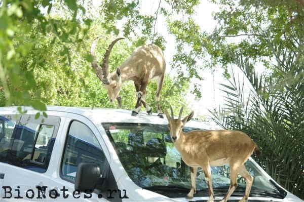 Козел на машине, козлы Эйн-Геди израиль