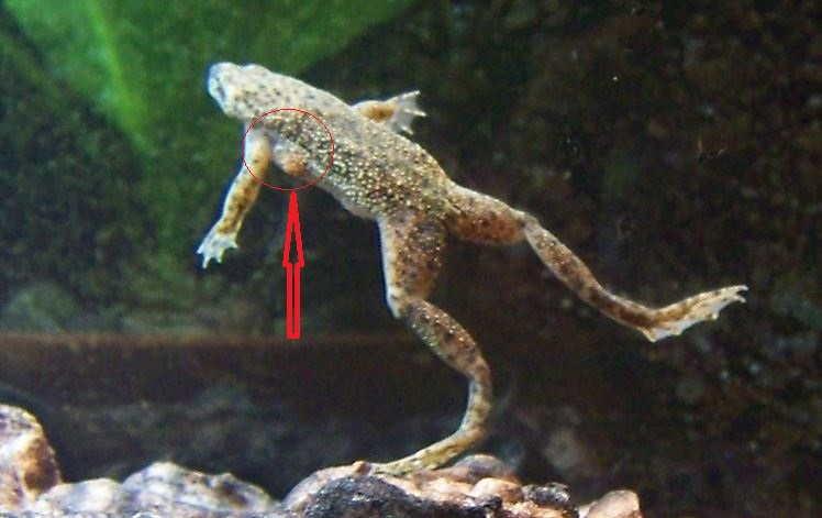Самец карликовой лягушки