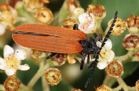 самец жука трилобита