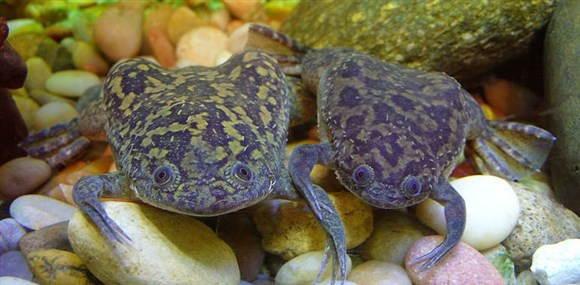 шпорцевая аквариумная лягушка Xenopus