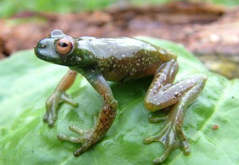 Centrolene geckoideum стеклянная лягушка glass frog Centrolenidae