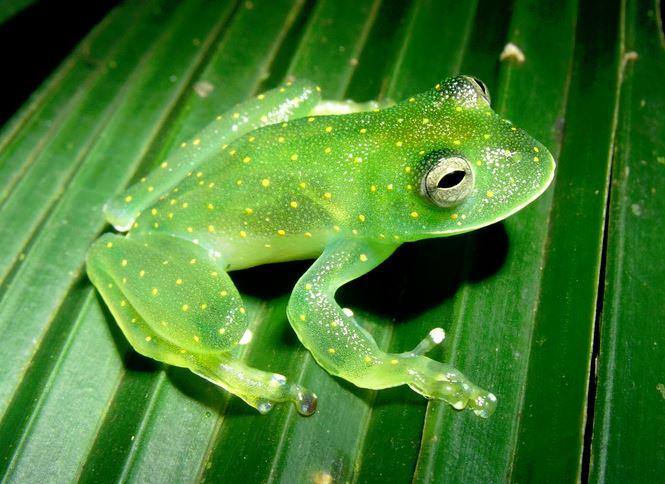 Cochranella euknemos стеклянная лягушка glass frog Centrolenidae