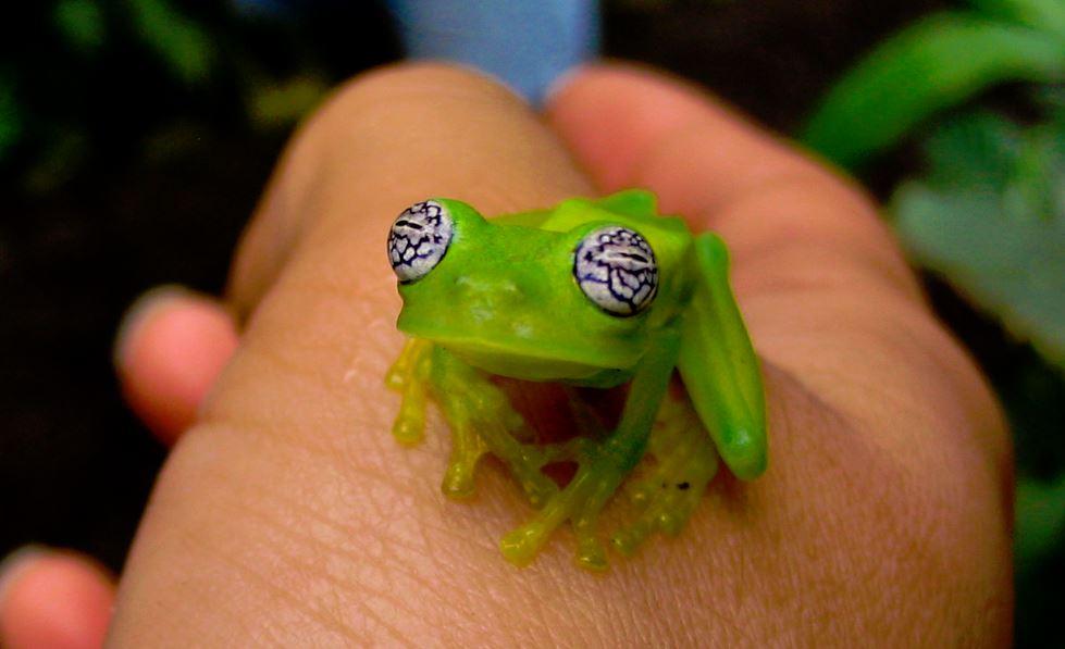 Centrolene ilex стеклянная лягушка glass frog Centrolenidae
