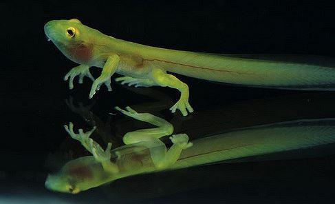 Hyalinobatrachium aureoguttatum стеклянная лягушка glass frog Centrolenidae