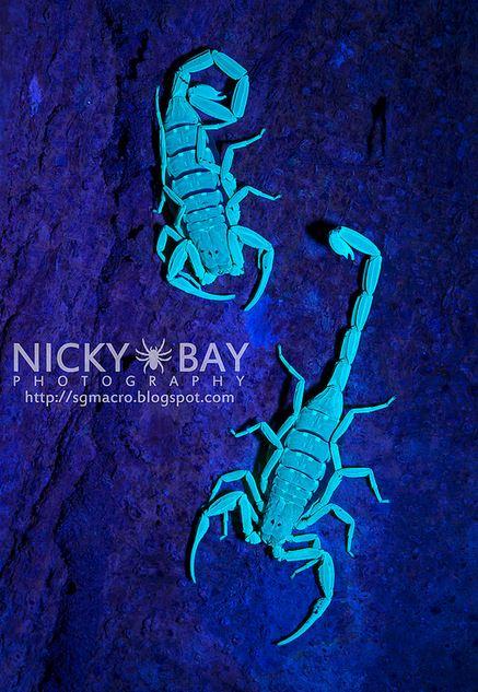 Флуоресценция скорпионов