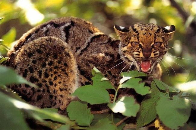 Мраморная кошка (Pardofelis marmorata)