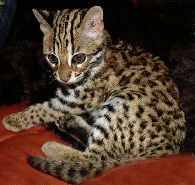 Котенок мраморной кошки
