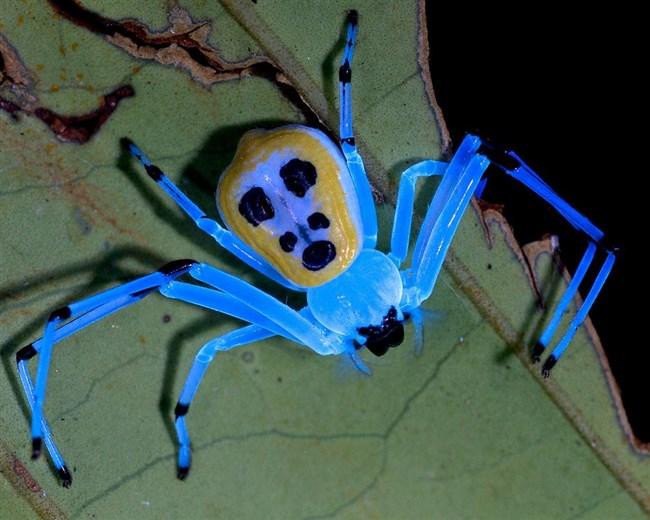 флуоресценция, биолюминесценция, насекомые, пауки, ультрафиолет