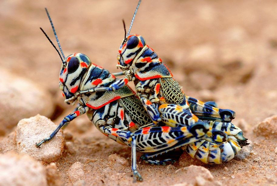 радужный кузнечик Dactylotum bicolor