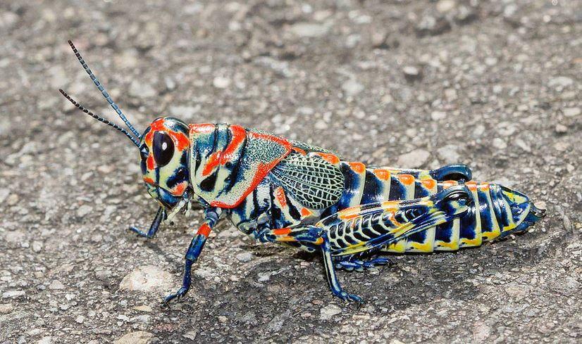 Радужный кузнечик (Dactylotum bicolor)