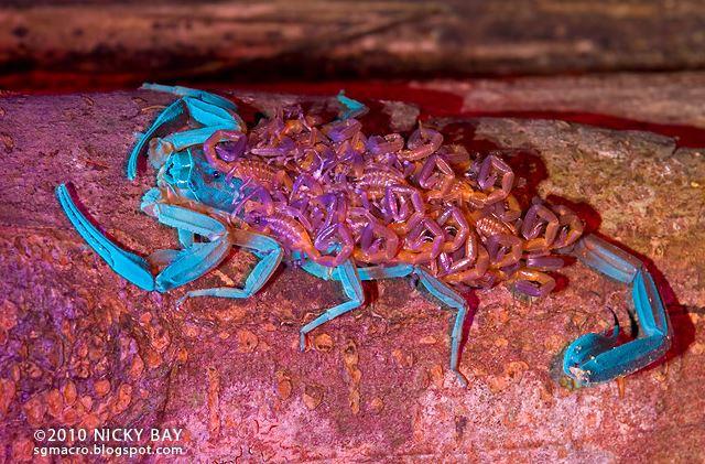 скорпион с детенышами УФ