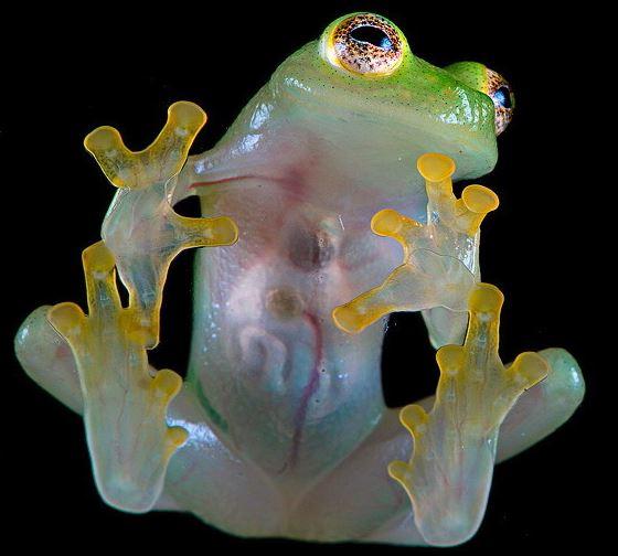 стеклянная лягушка glass frog Centrolenidae