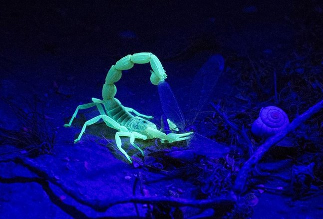 Скорпион под ультрафиолетом
