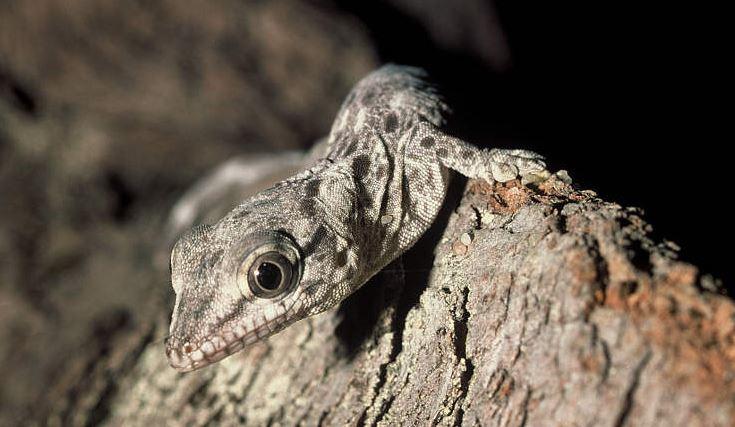 Phelsuma guenther, или дневной геккон Гюнтера