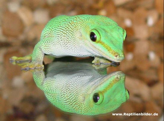 Phelsuma madagascarensis - мадагаскарский дневной геккон