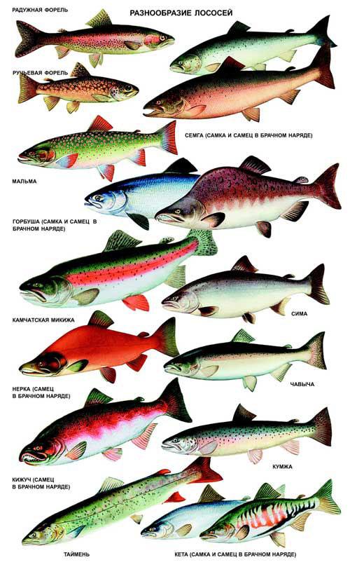 виды лососей
